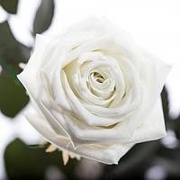 Долгосвежая роза Белый Бриллиант в подарочной упаковке