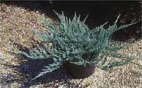 Juniperus horizontalis (можжевельник горизонтальный) 'Turquoise Spreader высота 15 см.ширина 60 см.
