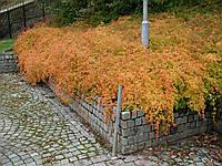 Стефанандра надрезаннолистная «Crispa» 15-25 см, р9, 2-летки