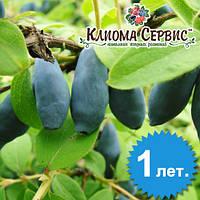 Саженцы жимолости сорт Бакчарская,  1-летние полуупакованая h-15-20см. 1-3 побега