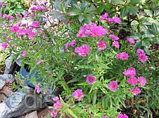 Астра многолетняя кустарниковая Jenny (сентябринка) корневище, фото 3