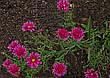Астра многолетняя кустарниковая Jenny (сентябринка) корневище, фото 2