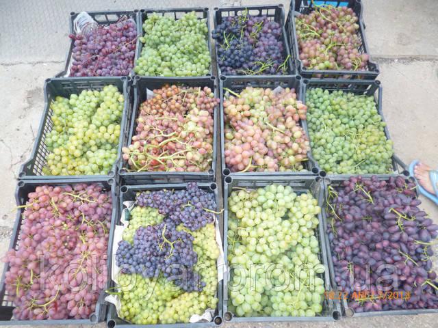 Весенняя  распродажа  саженцев  винограда  !