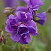 Герань садовая гималайская Plenum (Пленум)