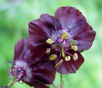 Герань садовая Phaeum Samobor