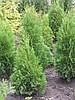 Питомник растений «Сосна»