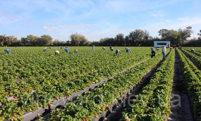 купить рассаду, саженцы клубники нейтрального дня в Украине