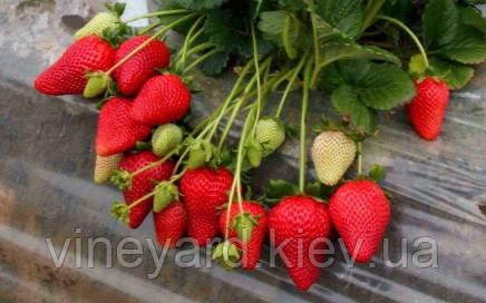 купить саженцы рассаду клубники ремонтантной в Украине, как вырастить клубнику дома