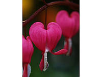 Дицентра Rose (Разбитое сердце)