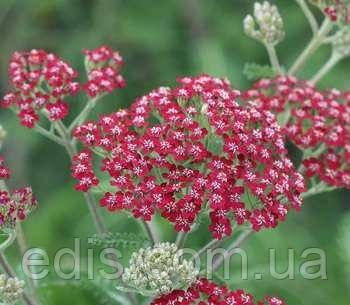 Тысячелистник Millefolium Cassis, фото 2