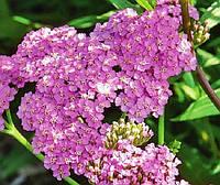 Тысячелистник Millefolium Lilac Beauty