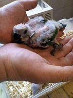 Пташенята Аратинга-докормыши