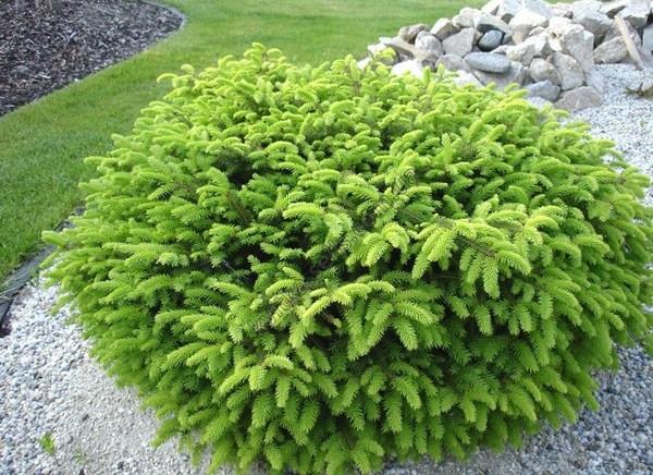 Ялина звичайна Nidiformis 4 річна, Ель обыкновенная / европейская Нидиформис, Picea abies Nidiformis