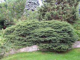 Ялина звичайна Nidiformis 4 річна, Ель обыкновенная / европейская Нидиформис, Picea abies Nidiformis, фото 2