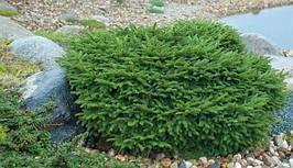 Ялина звичайна Nidiformis 4 річна, Ель обыкновенная / европейская Нидиформис, Picea abies Nidiformis, фото 3