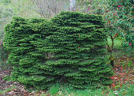 Ялина звичайна Nidiformis 3 річна, Ель обыкновенная / европейская Нидиформис, Picea abies Nidiformis, фото 2