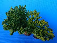 Коралл СН-7734С (зеленый)