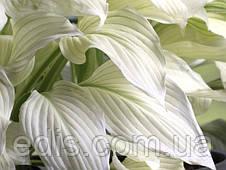 Хоста White Feather (Уайт Фёзе) корневище, фото 2