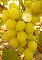 Саженцы винограда средне-раннего срока созревания.