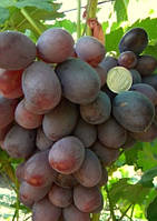 Саженцы винограда среднего срока созревания.