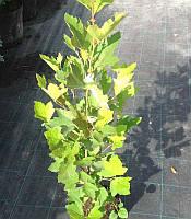 Platanus x acerifolia Платан кленолистий,C2-C3