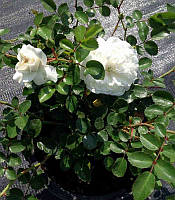 Rosa polyantha 'Fairy' Троянда бордюрна 'Fairy',C2-C3