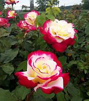 Rosa stam Троянда на штамбі,Оранжевий,90-110/40-60