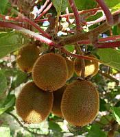 Actinidia deliciosa Ківі самозапильне,C10