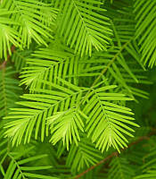 Metasequoia glyptostroboides Метасеквойя китайська,P9