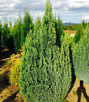 Chamaecyparis lawsoniana 'Ellwood's Gold' Кипарисовик Лавсона,З грунту,100-120см