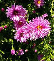 Aster dumosus pink, Айстра кущова рожева(рос.:Aster dumosus pink Астра кустарниковая розовая),C2-C3