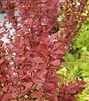 Berberis thunbergii 'Red Carpet' Барбарис Тунберга,C2-C3,40-60см