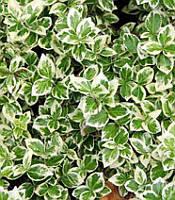 Euonymus fortunei 'Silver Queen' Бересклет Форчуна,C2-C3