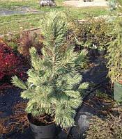 Pinus cembra 'Glauca' Сосна кедрова європейська,C15