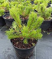 Pinus mugo var. mughus Сосна гірська 'Мугус',C2-C3