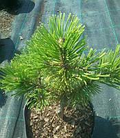 Pinus nigra 'Pyramidalis' Сосна чорна 'Пірамідаліс',C2-C3,20-40см
