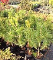 Pinus nigra 'Pyramidalis' Сосна чорна,C5,80-100см