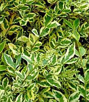 Ligustrum ovalifolium 'Argenteum' Бирючина овальнолиста(рос.:Ligustrum ovalifolium 'Argenteum' Бирючина овальнолистная),P9
