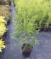 Thuja occidentalis 'Brabant' Туя західна,C2-C3,40-60см