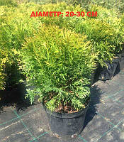 Thuja occidentalis 'Danica' Туя західна,C2-C3,15-20см