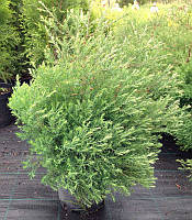 Thuja occidentalis 'Filicoides' Туя західна,C2-C3,60-80см