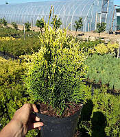 Thuja occidentalis 'Gold Pearl' Туя західна 'Голд Перл',C2-C3,20-30см