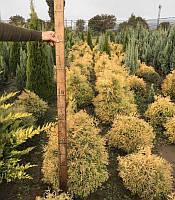 Thuja occidentalis 'Rheingold' Туя західна 'Рейнголд',C2-C3,30-40 см