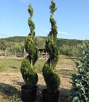 Thuja occidentalis 'Smaragd' (спіраль) Туя західна,З грунту,180-220см