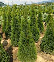 Thuja occidentalis 'Smaragd' Туя західна 'Смарагд',C2-C3,45-55см