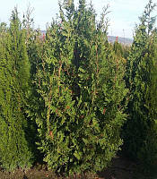 Thuja occidentalis 'Spiralis' Туя західна,C2-C3,40-60см