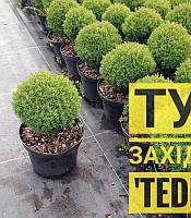 Thuja occidentalis 'Teddy' Туя західна 'Тедді',C2-C3,15-20см