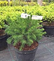 Picea abies 'Tompa' Ялина звичайна,C2-C3