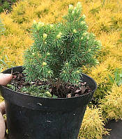 Picea glauca 'Rainbow's End' Ялина біла (канадська) 'Рейнбоуз Енд',C2-C3