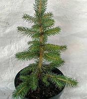 Picea pungens 'Glauca Arizona Kaibab' Ялина колюча,C2-C3,25-30см